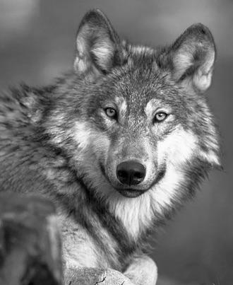werewolf a3